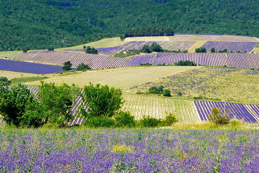 普羅旺斯 薰衣草 provence_lavender
